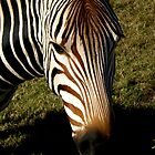 Zebra at Fossil Rim near Glenrose, TX by bigjason56