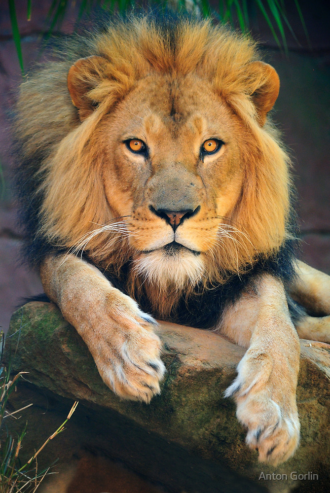 King by Anton Gorlin