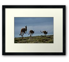 Powerful Kangaroos Bound Through The Wilderness Framed Print