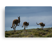 Powerful Kangaroos Bound Through The Wilderness Canvas Print