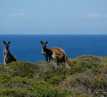 Curious Kangaroos  by wilderness