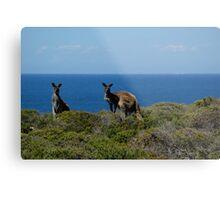 Curious Kangaroos  Metal Print