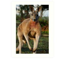 Powerful Red Kangaroo Art Print
