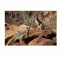Yellow Footed Rock Wallabies, Flinders Ranges  Art Print