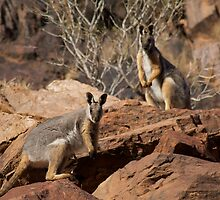 Yellow Footed Rock Wallabies, Flinders Ranges  by wilderness