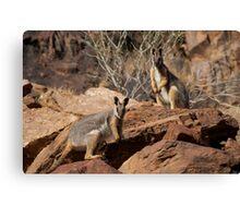 Yellow Footed Rock Wallabies, Flinders Ranges  Canvas Print