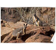 Yellow Footed Rock Wallabies, Flinders Ranges  Poster