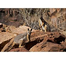 Yellow Footed Rock Wallabies, Flinders Ranges  Photographic Print