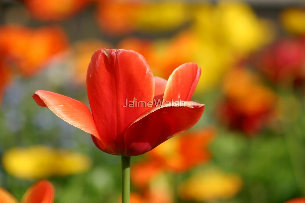 Red tulip by JaimeWalsh