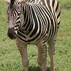 The lone Zebra by wilsonsz