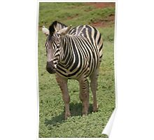 The lone Zebra Poster