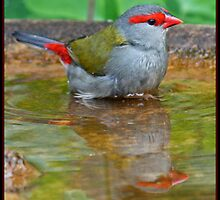 Red-Browed Firetail by TheGreatContini