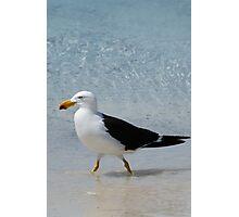 Pacific Gull Photographic Print