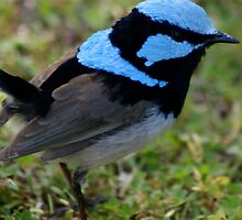 Superb Blue Male Wren by wilderness
