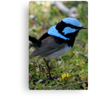 Superb Blue Male Wren Canvas Print