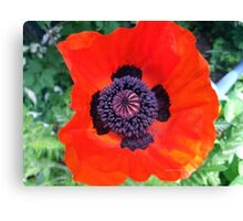 First Poppy of the Season in Mo's Garden Canvas Print