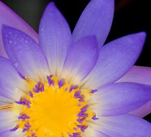 Water Lily - Conservatory of Flowers by SebastianPhoto
