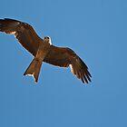 Falcon by Frank Moroni
