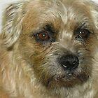 Rosie - Border Terrier by Jodie  Davison