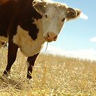 Hereford Cow In Australian Field by sallydexter