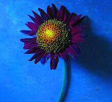 Sunflower with Blue Background by Mike Solomonson