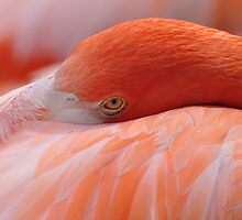 Pink Flamingo by Jeff Ore