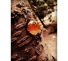cherry tree's nipple Photographic Print
