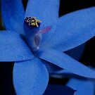 Thelymitra crinita    Queen Orchid by Ron  Long