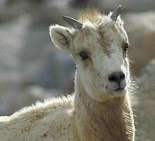 Young Bighorn Sheep  Mt. Evans  Colorado by gtowns