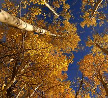 Fall Aspens  Rabbit Ears Pass  Colorado by gtowns