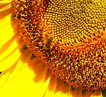 Bee on a Sunflower by organicdreams