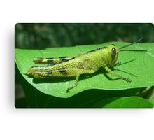 Grass-hopper Canvas Print
