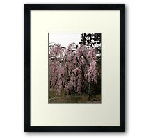 Weeping cherry Framed Print