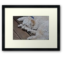 Boomer the Labradoodle Framed Print