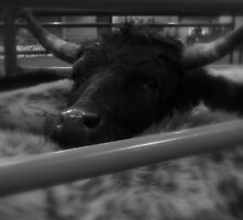 Trapped - Rodeo Collection - Montana by Monica DeShaw