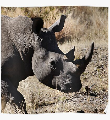White Rhino | South Africa Poster