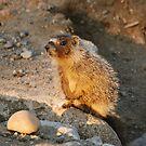 marmot pup by Rodney55