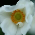 White anemone by Themossgirl