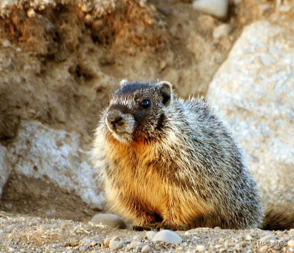 marmot pup II by Rodney55