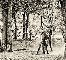 Waterbuck   Ongava by Olwen Evans