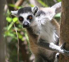 Curious Lemur ~ landscape by ChrisCoombes