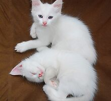 White Kittens on Brown Chair  by jojobob