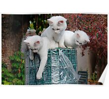 Three Kittens on Roll of Garden Fencing  Poster