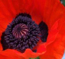First Poppy of the Season in Mo's Garden 3 Sticker