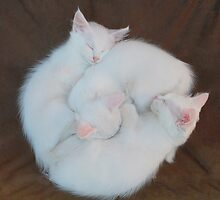 Three White Kittens on Brown Chair   by jojobob