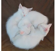 Three White Kittens on Brown Chair   Photographic Print