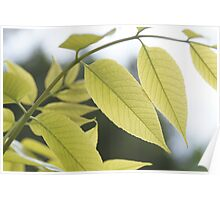 Arc -- gently backlit spring leaves Poster