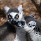 Madagascar lemurs - Wild life by Anthony Wilson