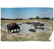 Water Buffalo by Pond  Poster