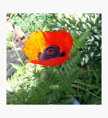 First Poppy of the Season in Mo's Garden 4 Photographic Print